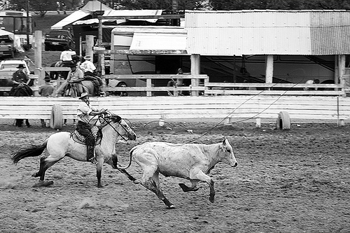 black and white photo of a rodeo rider