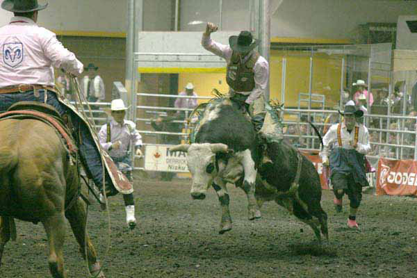 A Bull rider tests his skills at the Black Gold Rodeo in Leduc